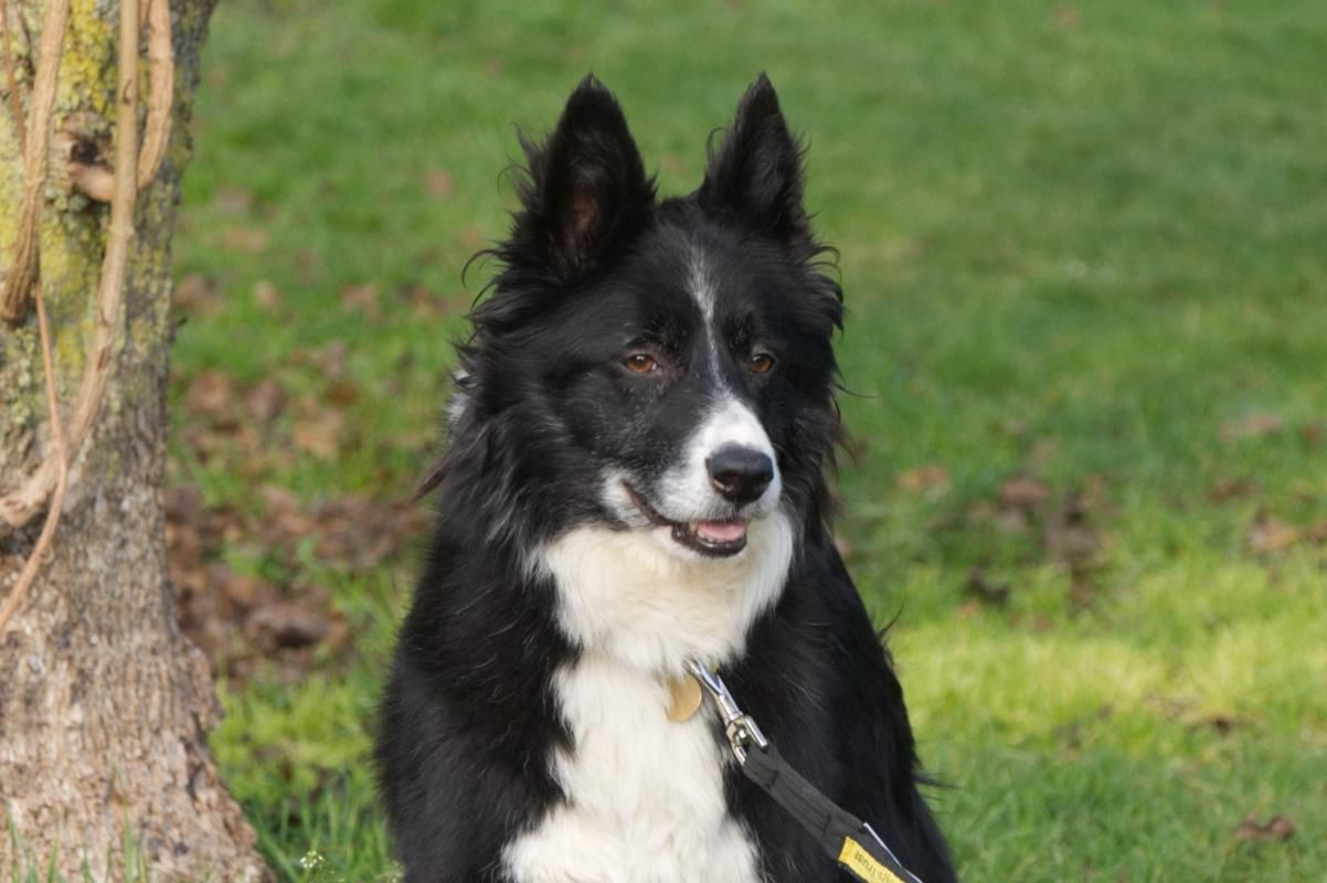 Adopt A Dog Florrie Collie Cross Border Dogs Trust Dogs