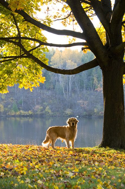 Golden Fall Golden Retriever Dog Love Retriever