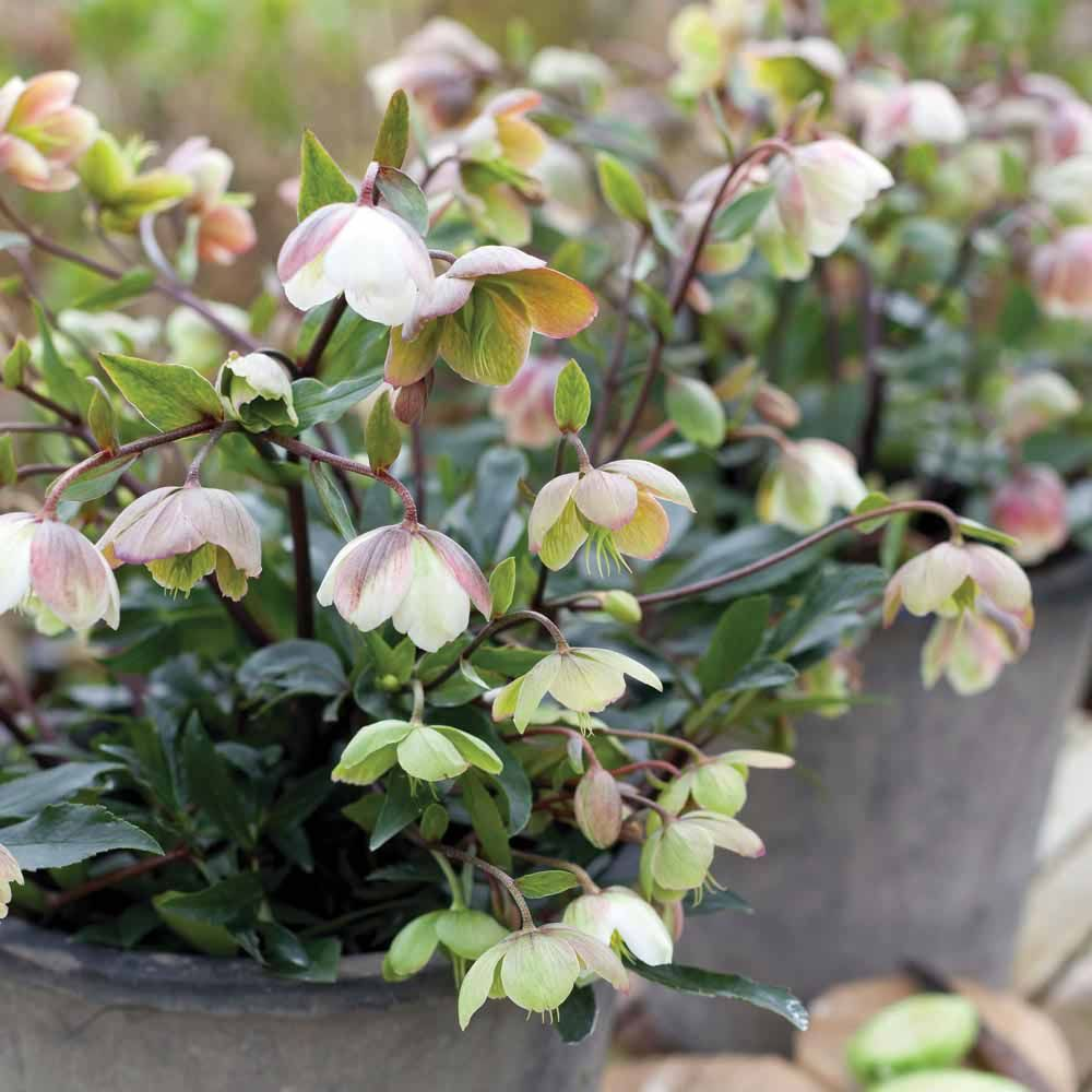 hellebore u0027winter bells u0027 cottage garden plants van meuwen