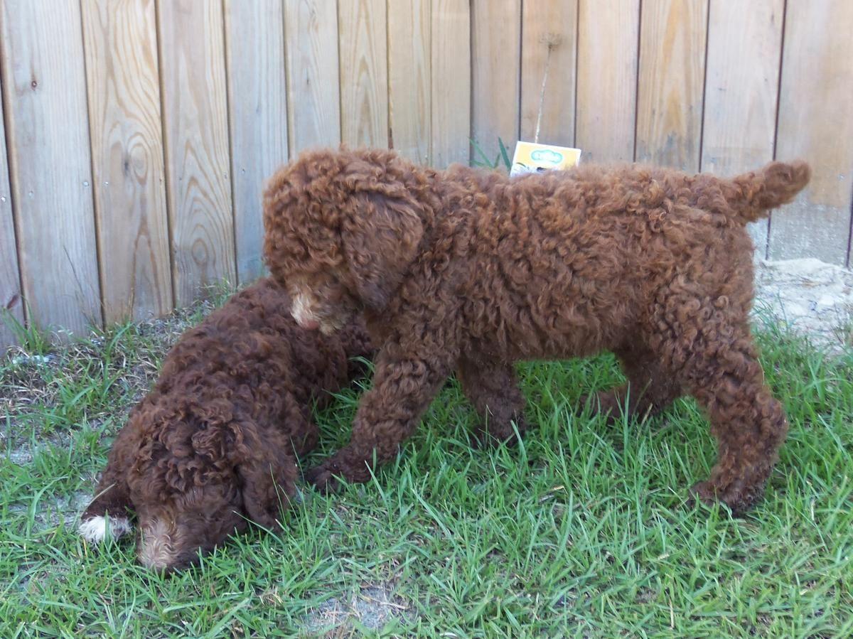 Double registered akc ckc royal standard poodle puppies