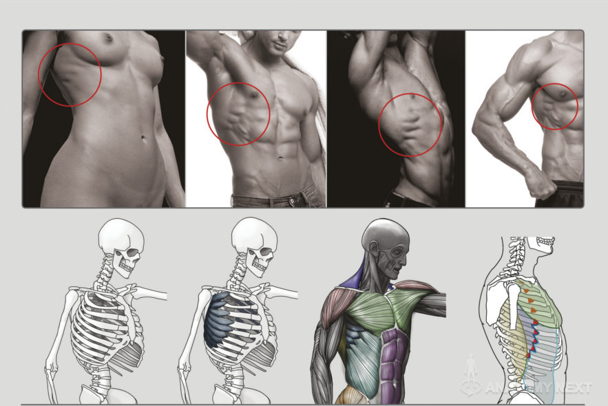 Anatomy Next - Anatomy of Torso: Anatomy & features | Anatomy ...