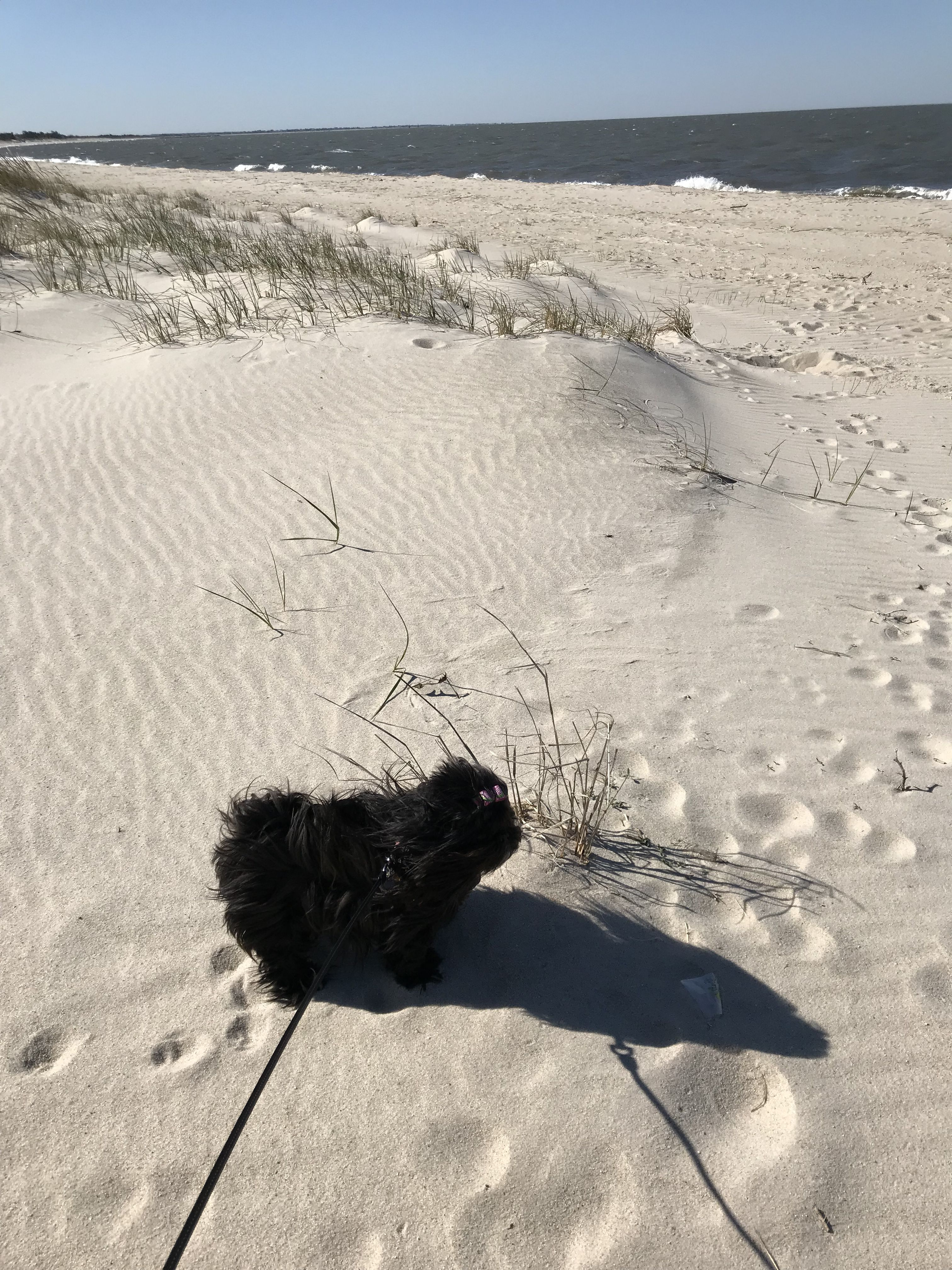 Fendis happy place the beach shih tzu puppy shih