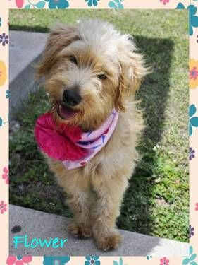 Flower Female Cream Colored Wired Haired Terrier Mix 3 Yrs Old Fox Terrier Wirehaired Fox Terrier Terrier Mix