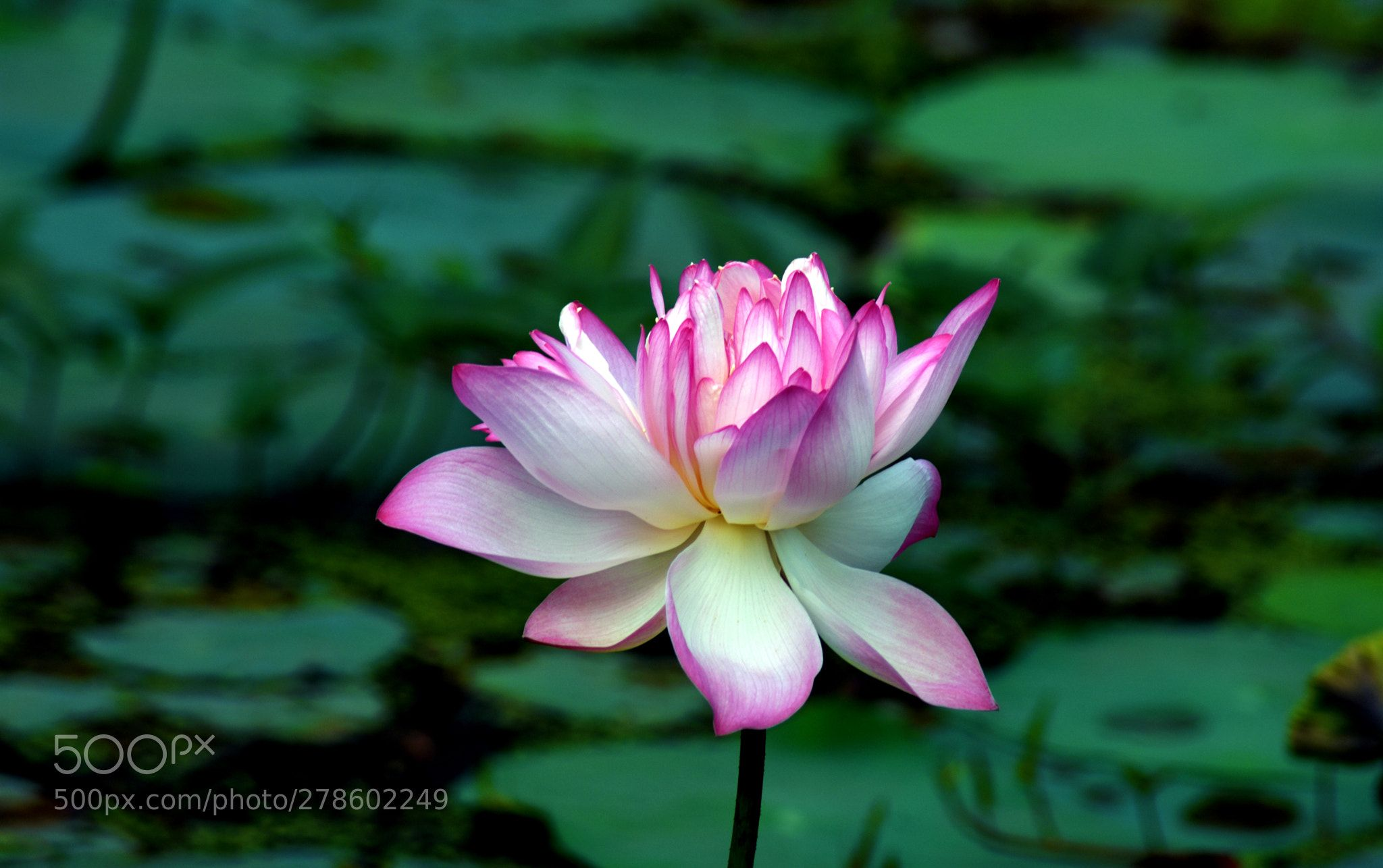 Indian Lotus Nelumbo nucifera is species of aquatic plant