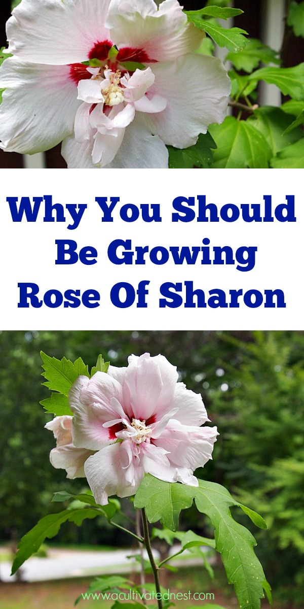 7 Reasons to Grow Rose of Sharon is part of Rose of sharon, Garden care, Growing roses, Rose of sharon tree, Rose of sharon bush, Perrenial flowers - Rose of Sharon is an easy to grow and beautiful perennial! Plus it has many benefits for your yard! Check out these reasons to grow Rose of Sharon!