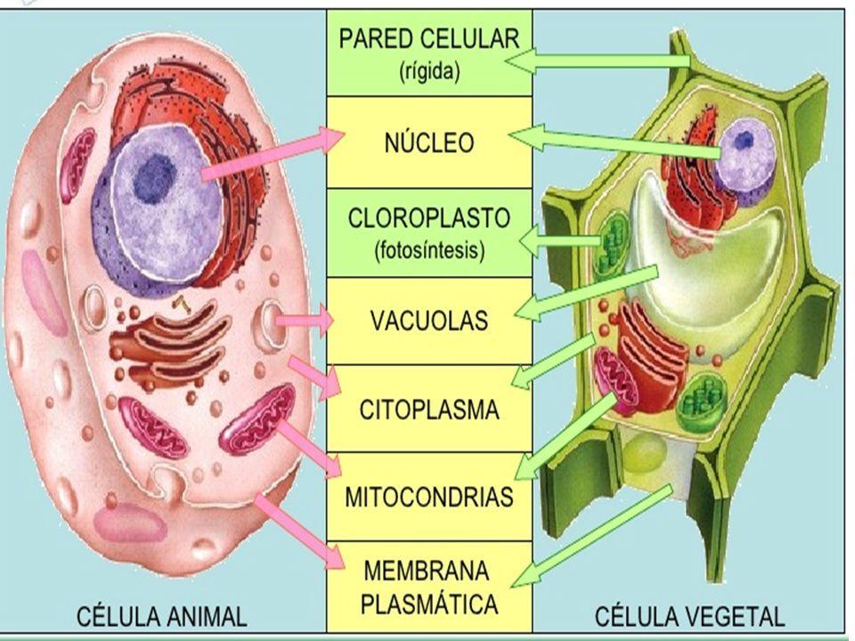 Celula Animal Y Vegetal Facil De Dibujar Buscar Con Google