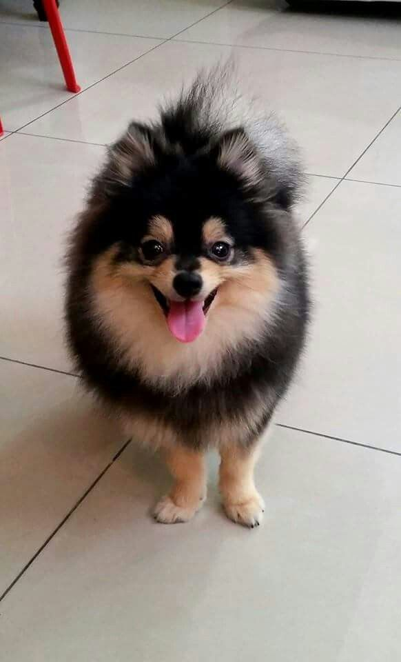 Romeo One Perfectly Gorgeous Pom Pets Puppies Pup