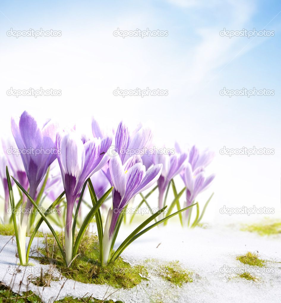 Art spring crocus flowers in the snow Thaw — Stock Image #8595732