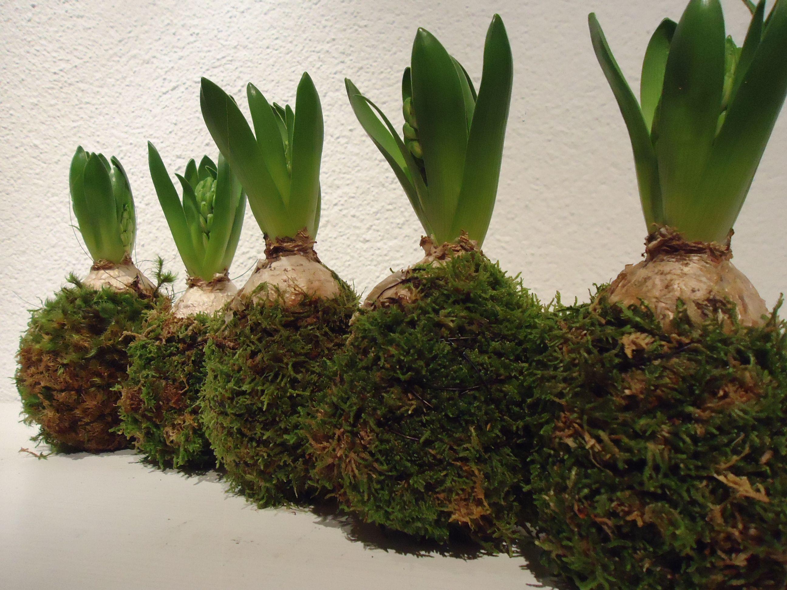 Hyazinthen mit Moos umwickelt Blumen Renner,Lörrach ...