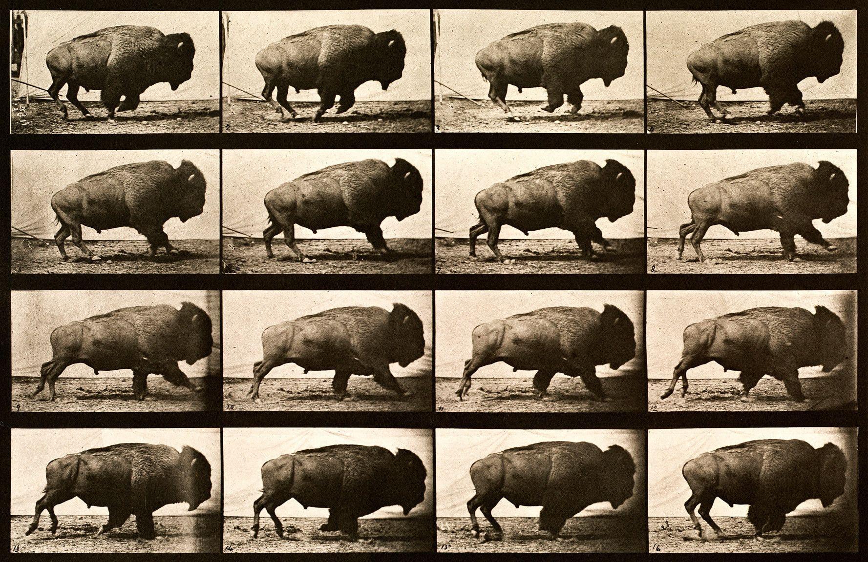 Buffalo Running, Animal Locomotion Plate 700   Reino animal y Animales