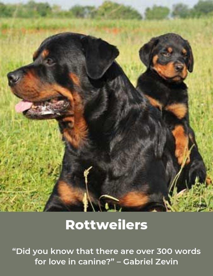 Rottweiler Rottweilerpage Rottweilersofinsta Rottweiler