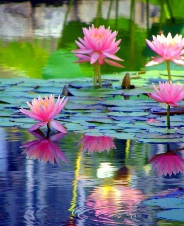 De mi color fotografia de flores pinterest lotus flowers and de mi color lotus blossomslotus flowerspaint mightylinksfo
