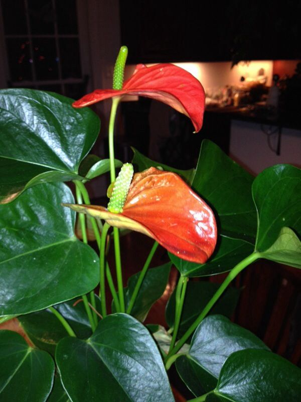 Anthurium Flamingo Flower Sp Is A Tropical House Plant That