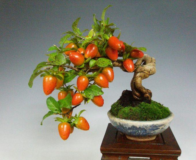 Fruiting Bonsai Persimmon Trees Bonsai Fruit Tree