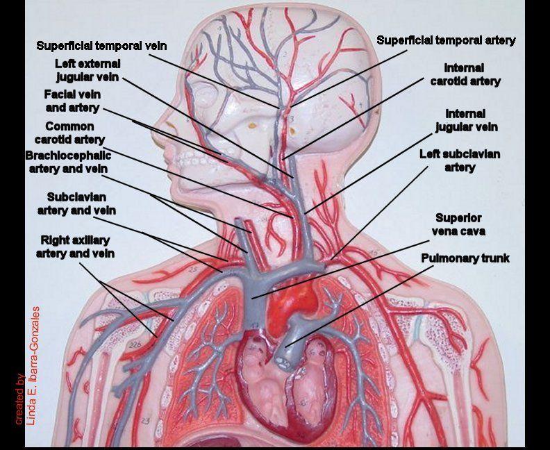Model Head Thorax Blood Vessels.jpg 792×648 pixels | Nursing 101 ...