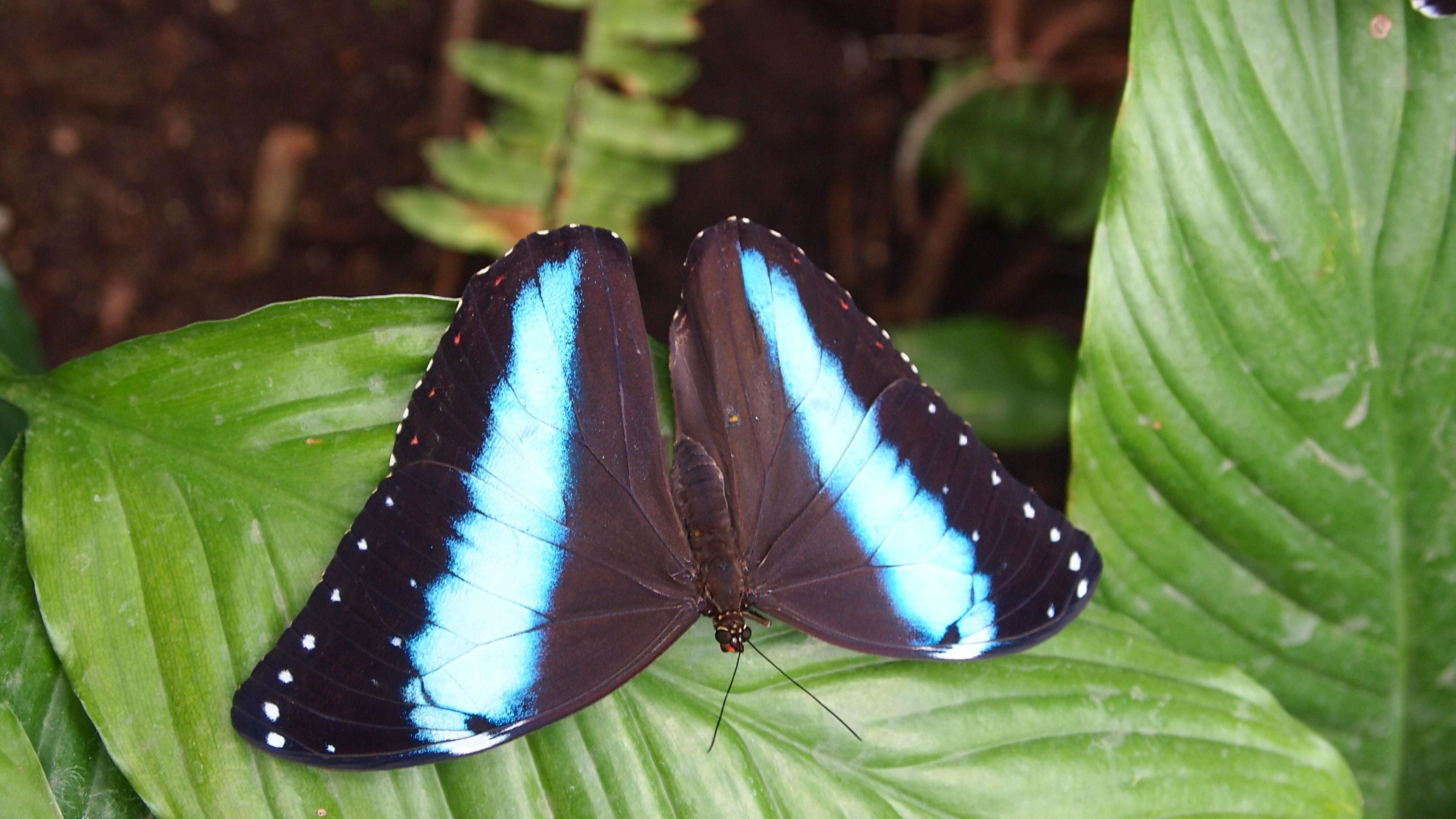 awesome black butterfly with blue stripes wallpaper