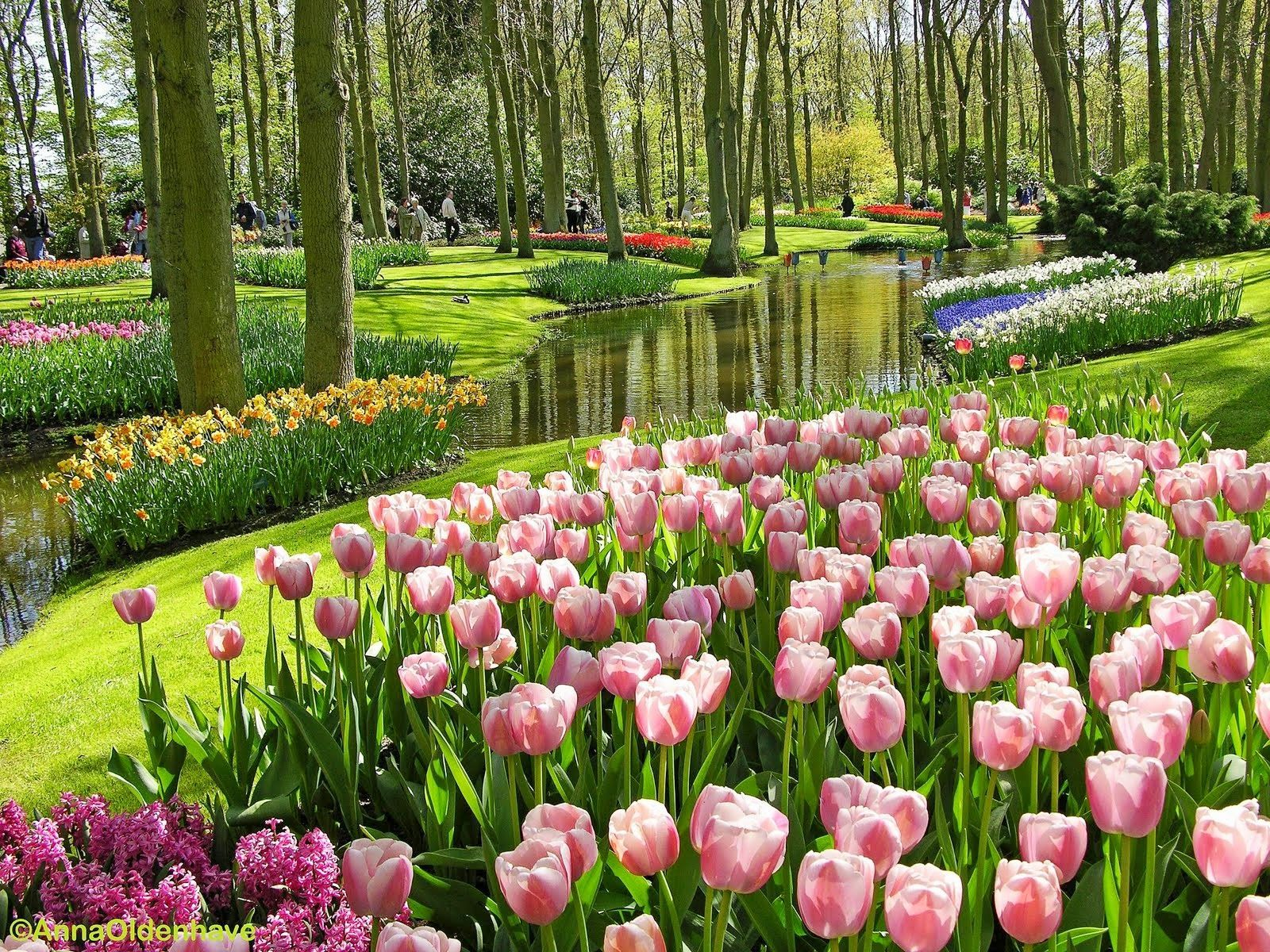 Gambar Taman Bunga Pink Tulips Places To Visit Pinterest Pink Tulips Tulip And Pink