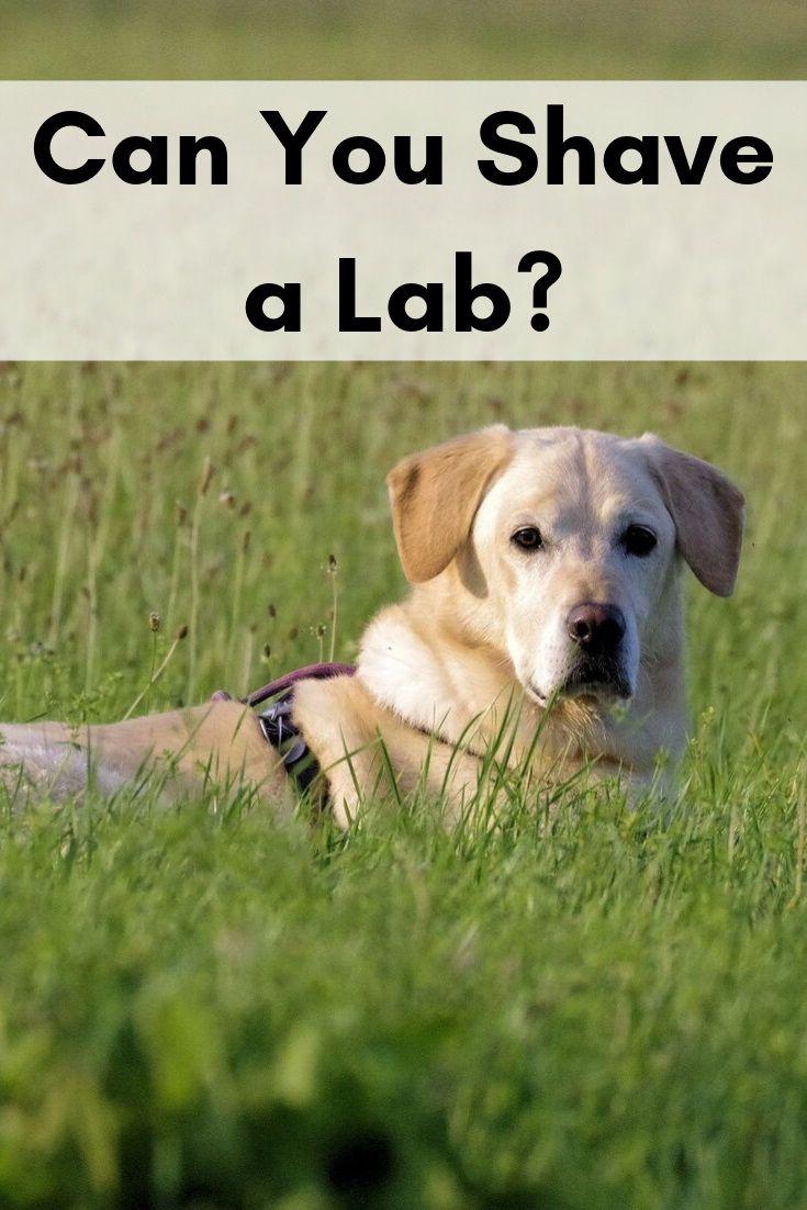 Can You Shave A Lab In 2020 Labrador Shedding Labrador Retriever Puppies Labrador