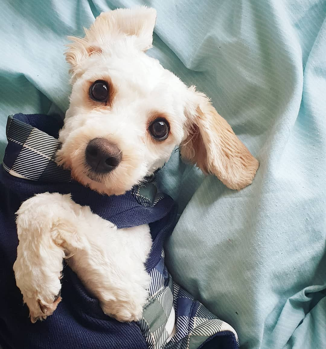 Cute puppy in a dapper sweater. Puppy dog eyes, Dog