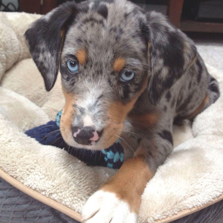 Lemon Male Mini Pocket Beagle Puppy Beagle Puppy Pocket Beagle Puppies Pocket Beagle