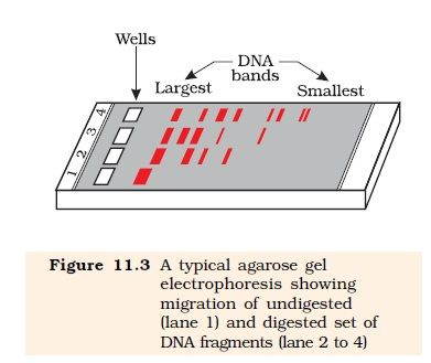 Ncert Class Xii Biology Chapter 11 Biotechnology Principles And