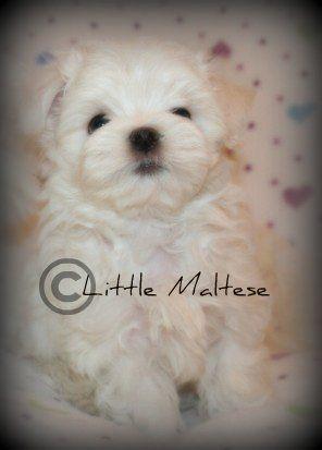 Maltese puppy from Little Maltese.