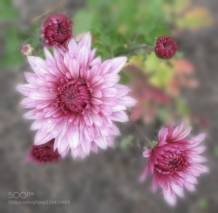 October flowers by evdokya #nature