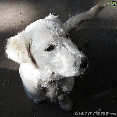 Golden Retriever Puppy Augie 3 Months Old Golden Retriever