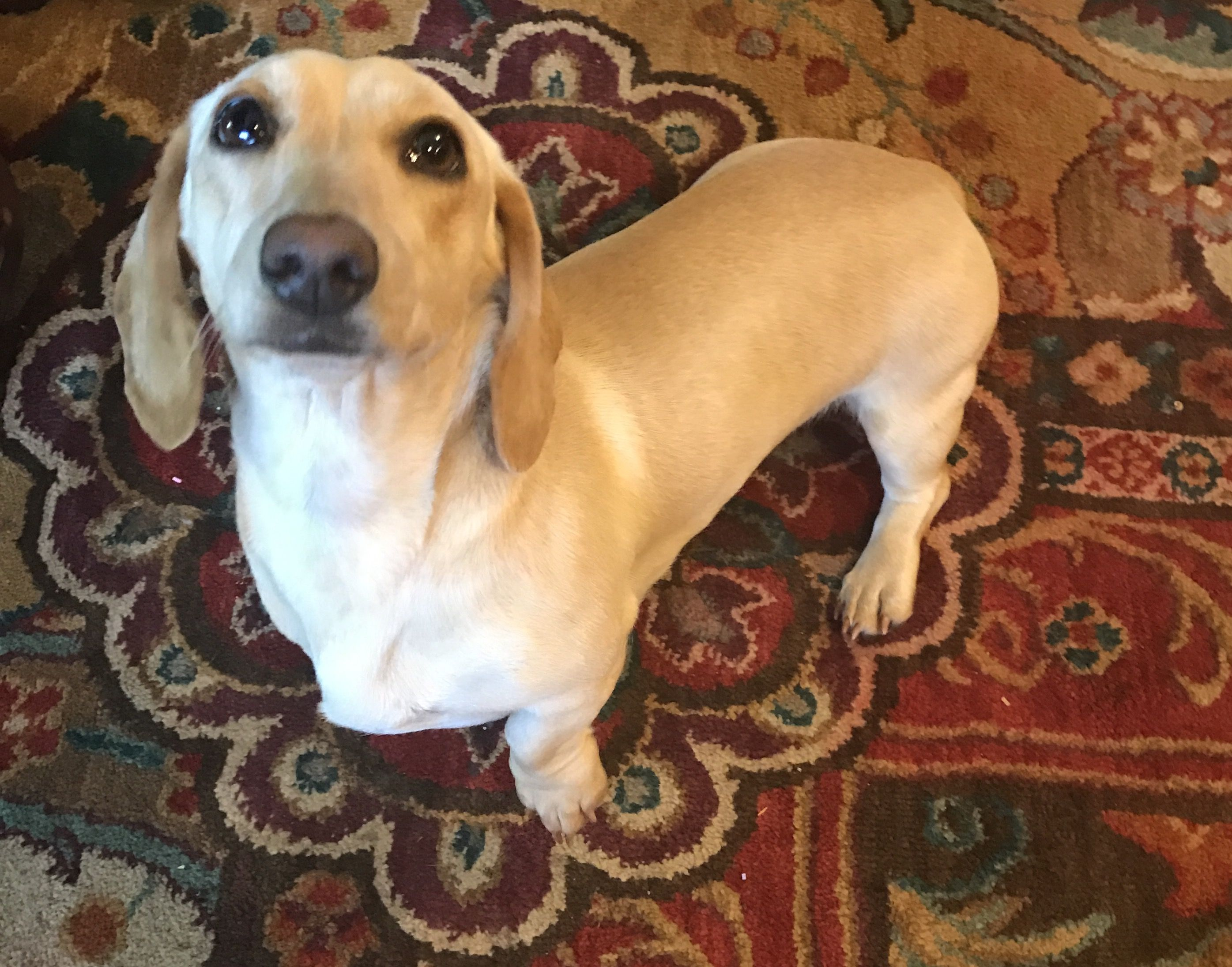 Twinkie Girl Ee Cream Shorthair Miniature Dachshund This Girl Is