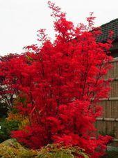 Fächerahorns Besen - Acer palmatum's Broom- -#Garten #japanesemaple