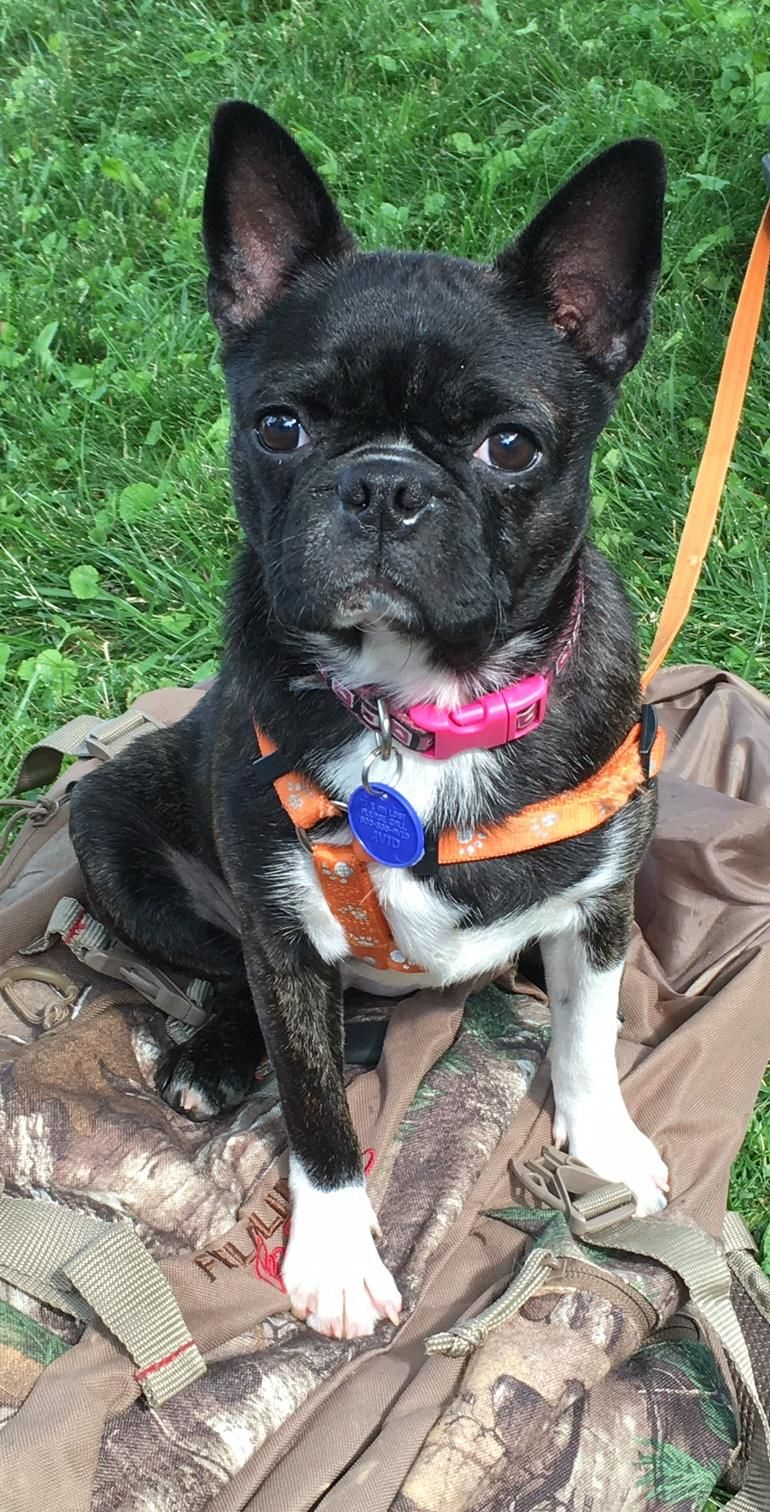 Adopt Flower on Boston terrier rescue, Boston terrier