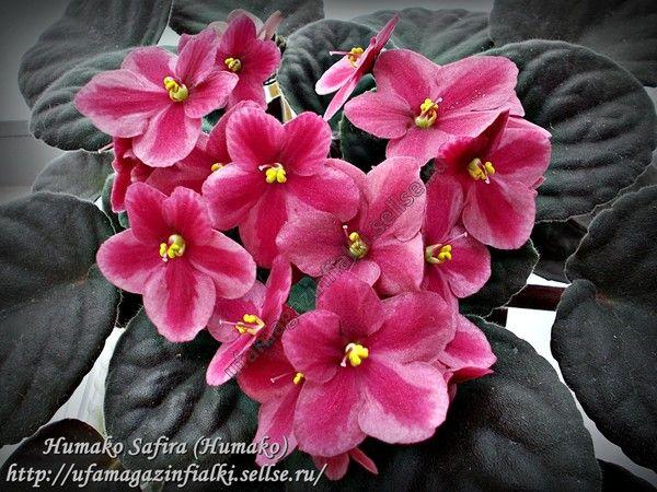 Humako Safira (Humako). Простые кораллово-розовые анютки с темно-красной радиальной полосой по каждому лепестку. Ровная, хорошо формирующаяся розетка. Цветение шапочкой.