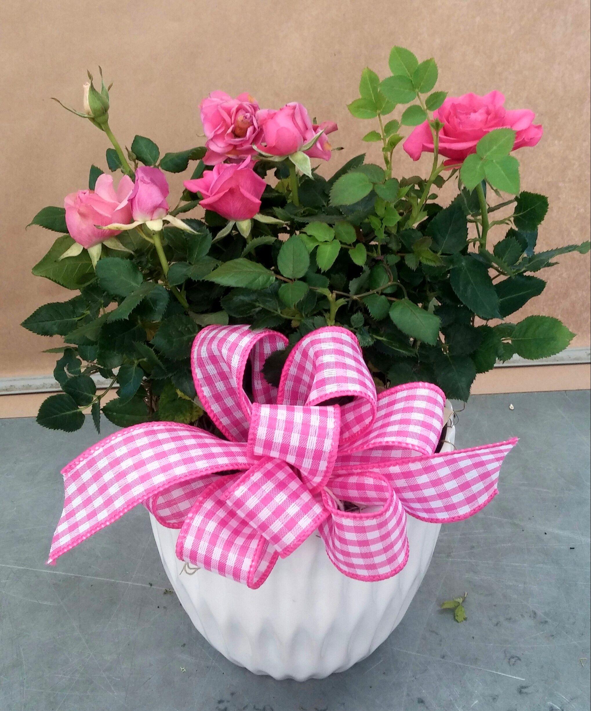 Fresh Miniature Roses. #valentinesday #valentine #rose
