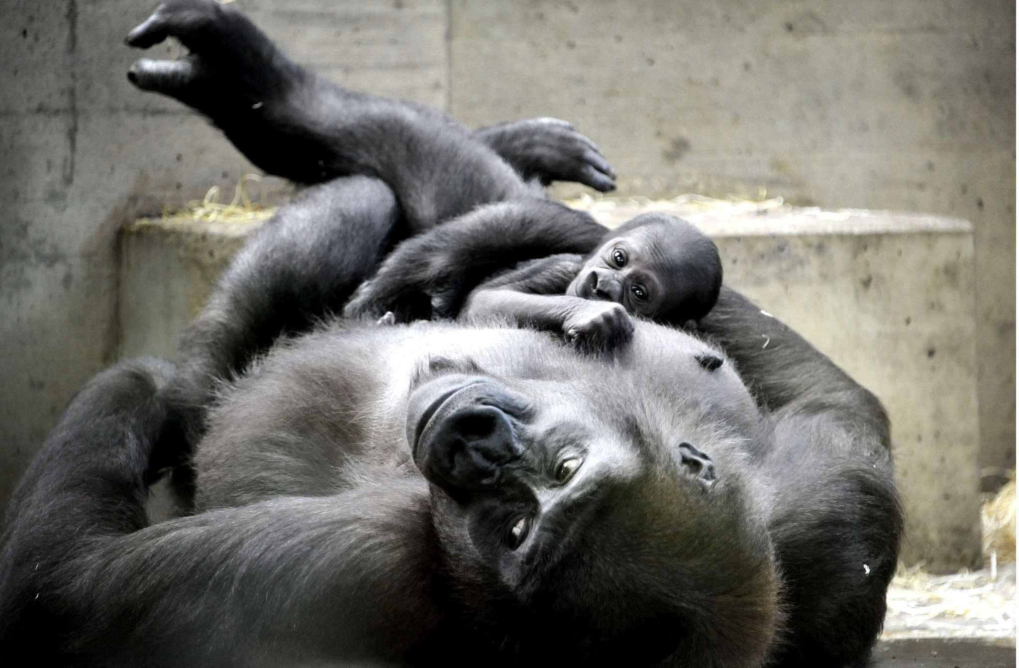Une femelle gorille tient son premier né dans ses bras au zoo deWilhelmaà Stuttgart en Allemagne.