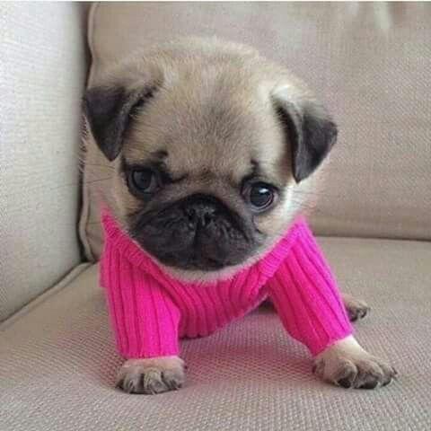 Camisas Para Perritos A 15 Perro Pug Bebes Pug Bebes Perros Pug