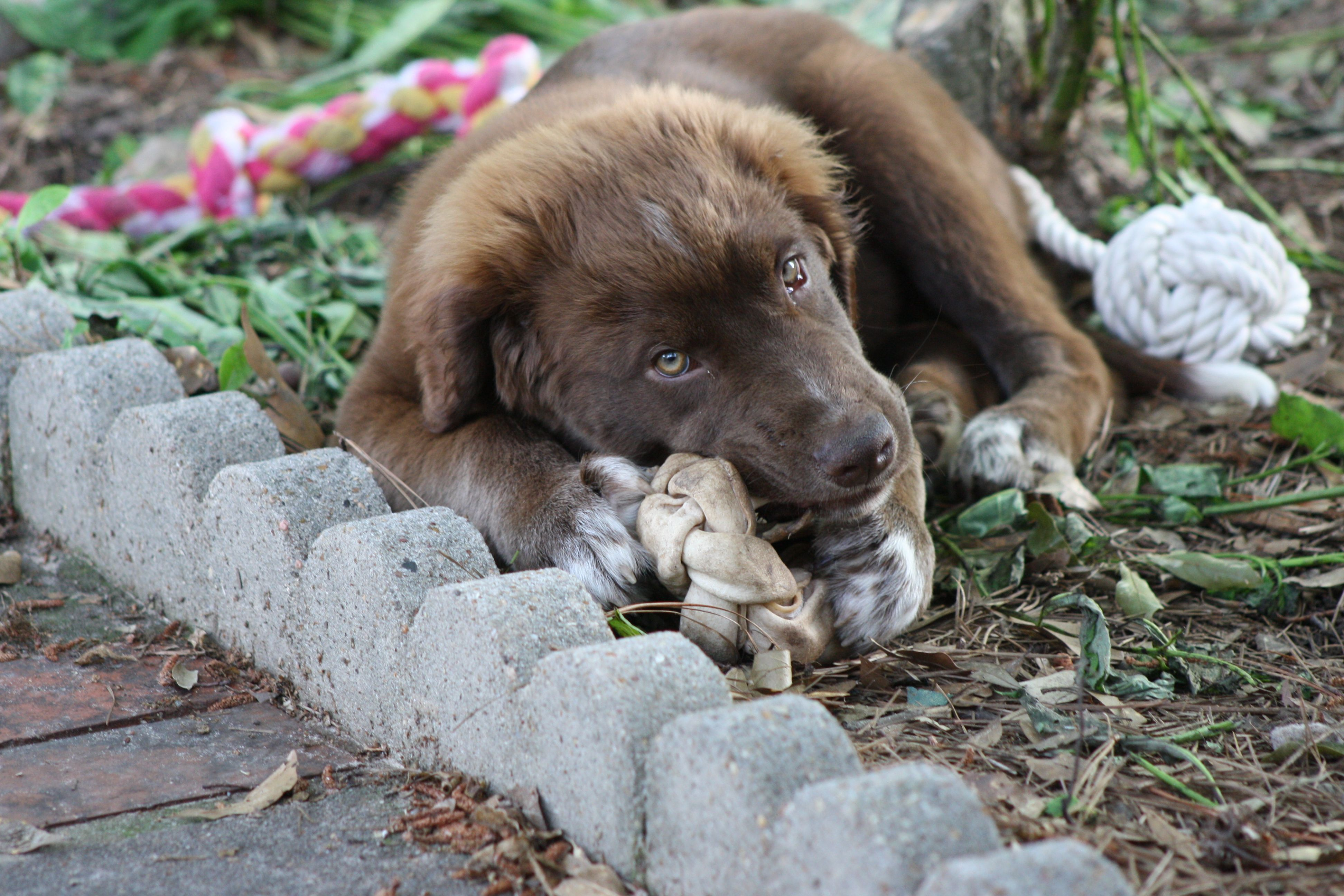 Great Pyrenees Chocolate Lab Mix Chocolate Lab Mix Great