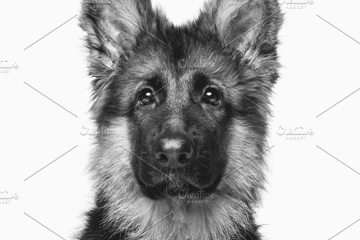 Beautiful German Shepard Puppy Sponsored Paid Shepard Puppy