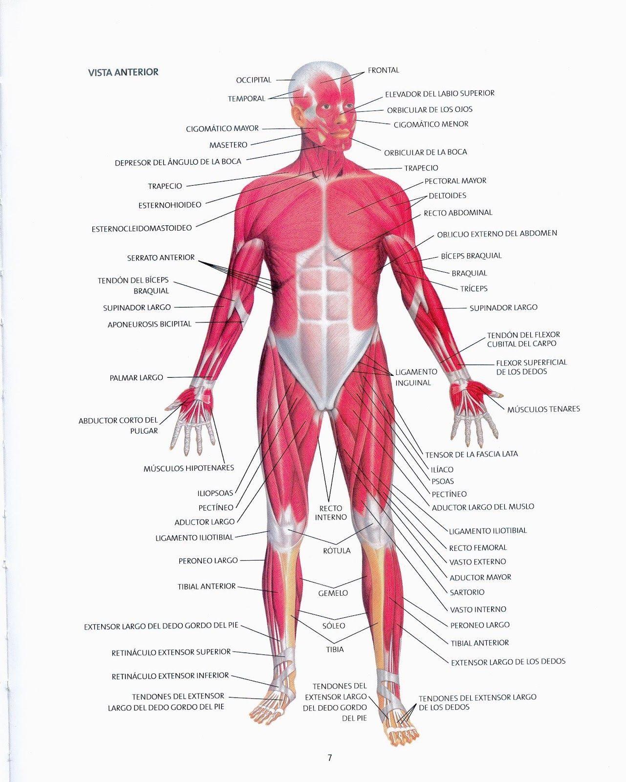 Imagenes De Los Musculos Mas Importantes Del Cuerpo Humano
