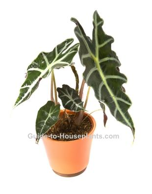 Elephant S Ear Alocasia Amazonica Is An Unusual House Plant With Striking Foliage Other Common Names Plants Growing Plants Indoors Identifying House Plants