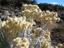 Image Result For Edelweiss Jawa Most Beautiful Flowers Edelweiss Planting Flowers