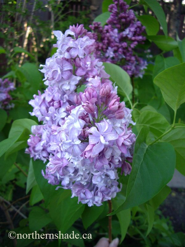 Syringa Vulgaris Wedgewood Blue Lilac Love The