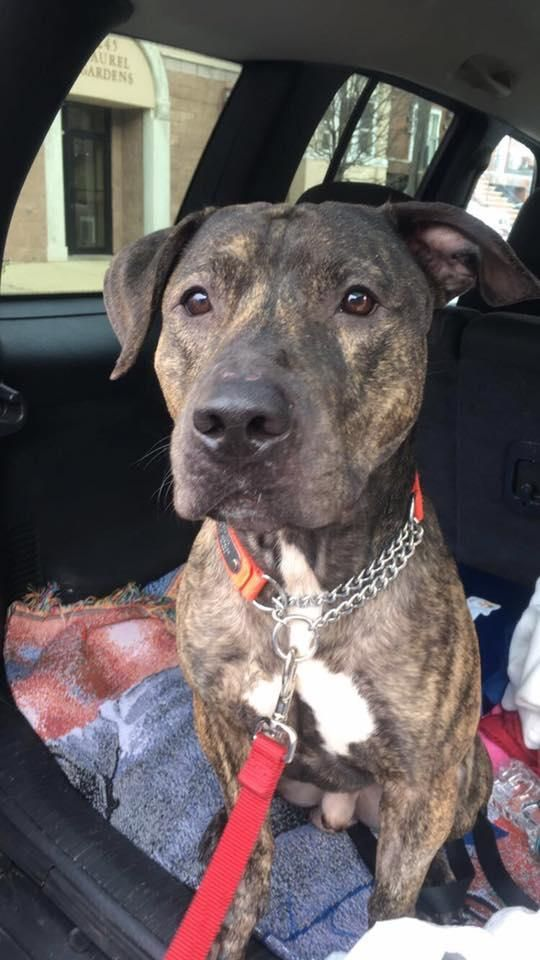 Adopt Jungle on | Darlin Pups | Pitbull terrier, Plott hound