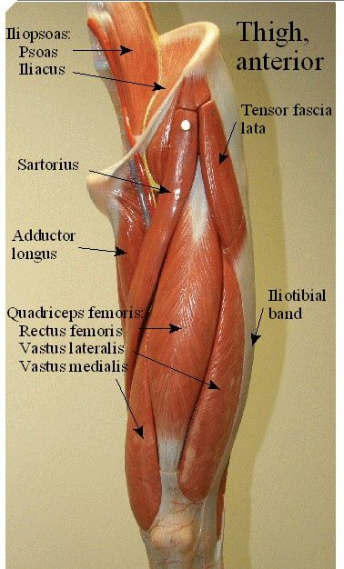 pictures of a model of <b>muscles</b> of the thigh , <b>leg</b, Muscles