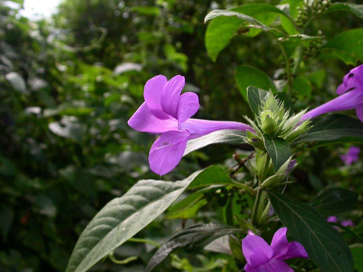 Image result for   (Asystasia gangetica L.). ACANTHACEAE  plantas FLORES