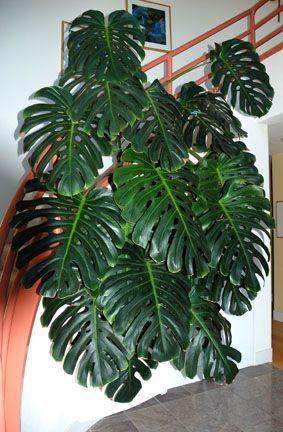 Split Leaf Philodendron Monstera Deliciosa Plants Cool Plants