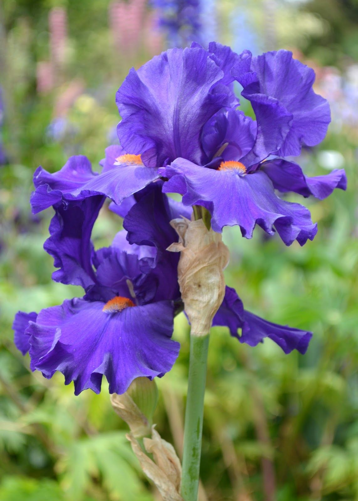 Pin by gosia fedele on nature scapes and miracles pinterest iris i visited schreiners and discovered that there are many varieties of irises izmirmasajfo