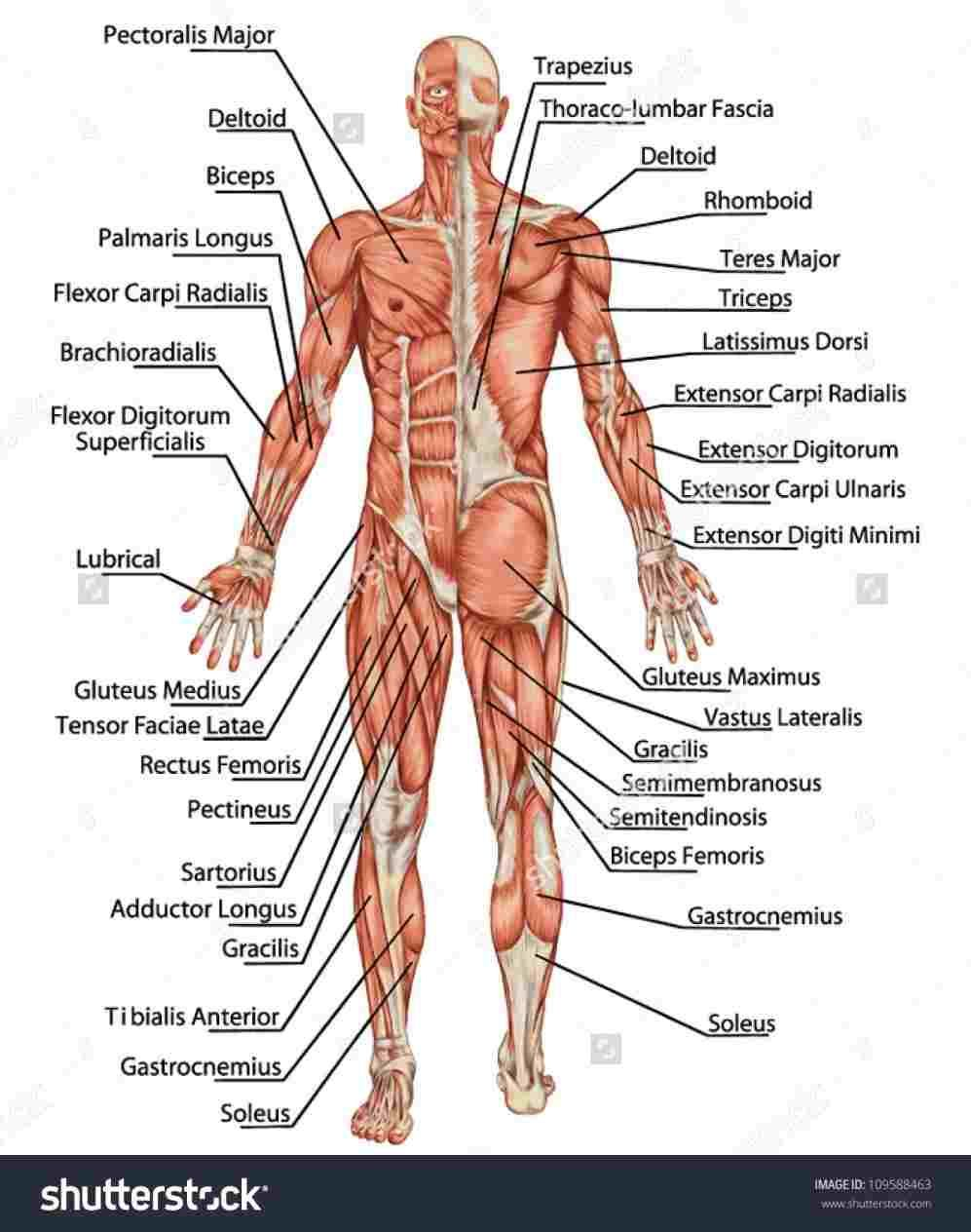 human muscles diagram labeled front and back guitar volume pot wiring anatomy study pinterest body class