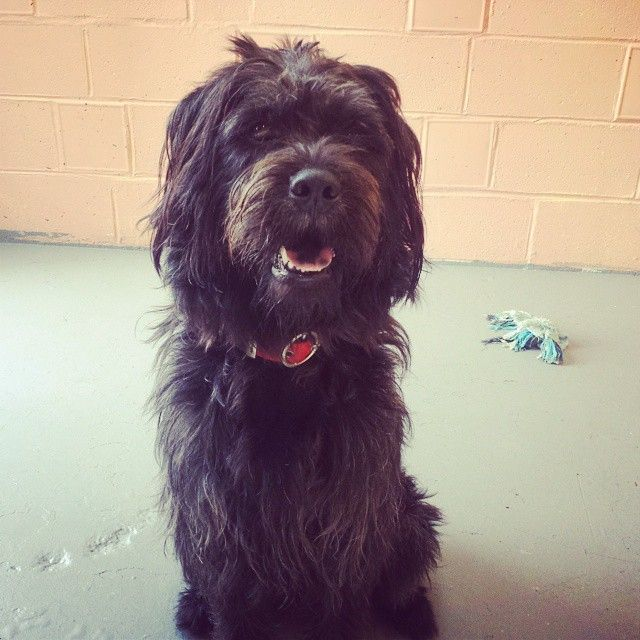 Labradoodle dog for Adoption in Kansas City, MO  ADN-465505