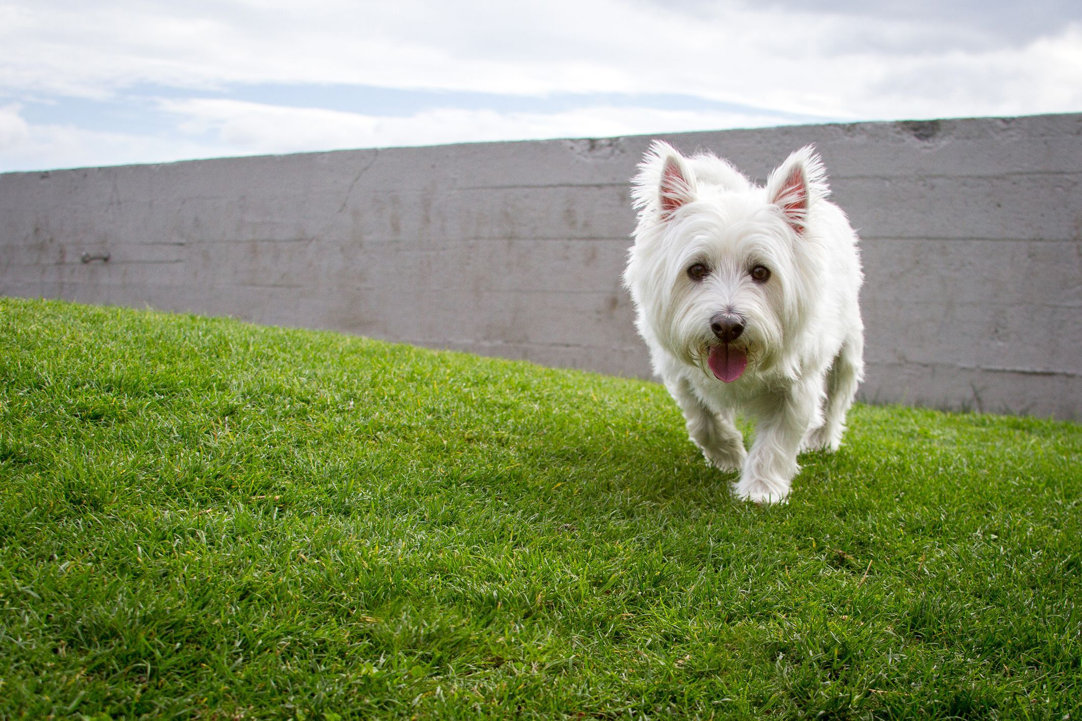 The West Highland White Terrier Is A Lively And Loyal Little Dog That S Suitable For Families That Includ In 2020 Westie Dogs West Highland White Terrier White Terrier