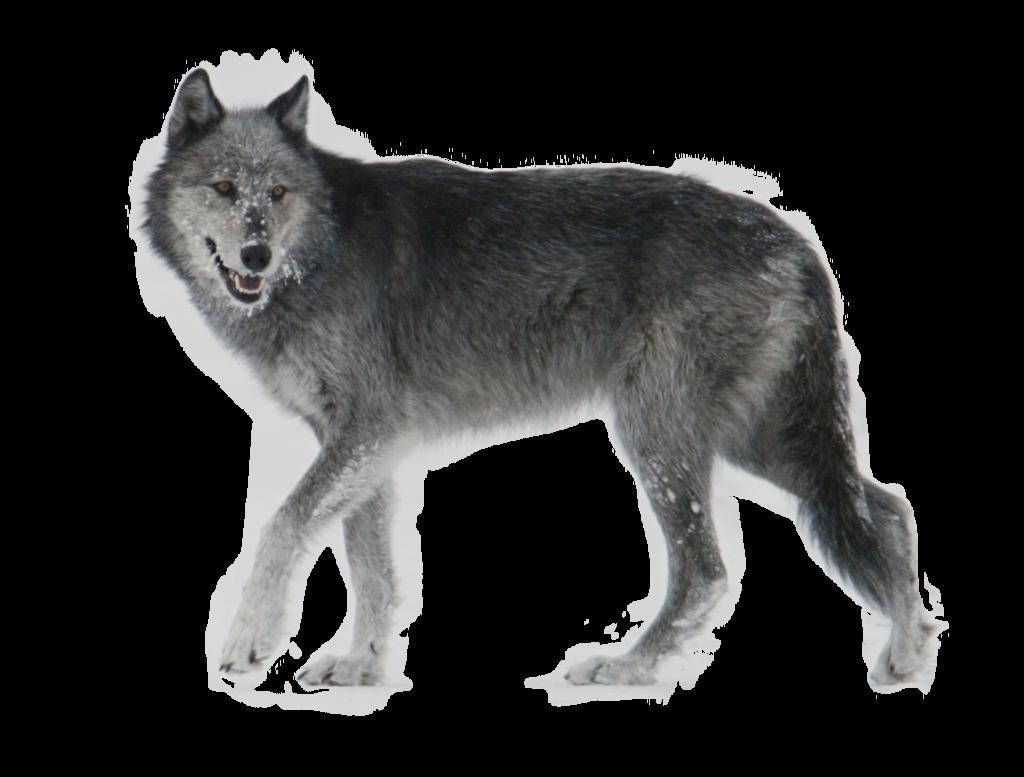 Wolf Gray Png Buscar Con Google Wolf Walking Grey Wolf Wolf